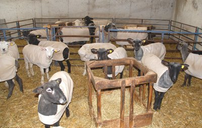 Yearling ewes with rams in next pen