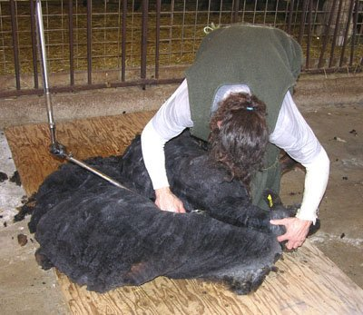 Shearing on of the colored sheep