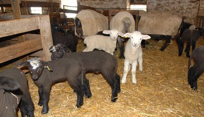 Lambs in the 1st mixing pen