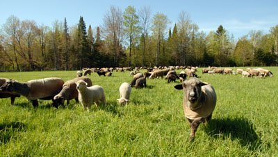 Jorgina and the rest of the flock already in the third pasture