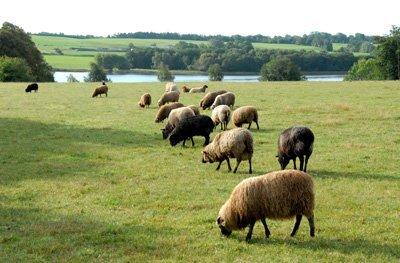 Gammel Spelsau sheep grazing near Hinge Så