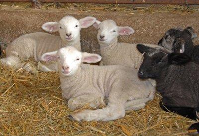 Left to right: Zircon, Zirconia, Yaakov, Zorba the Sheep and Zippidy Day