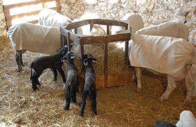 Three lambs, just 5 days old, sampling solid food