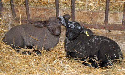Lucy's lambs, the Moorit to the left