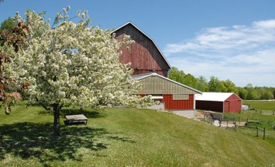 Crabapple blooming next to barn