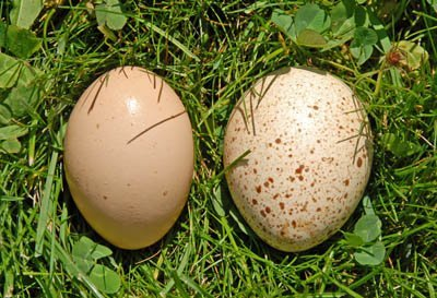 Turkey egg on the right