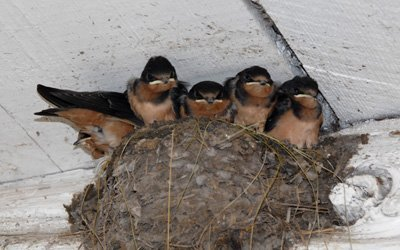 Six young barn swallows