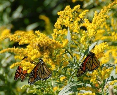 Monarchs on Goldenrod