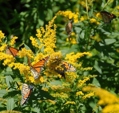At least six Monarchs in a small space!