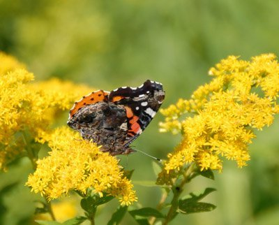 Red Admiral on Goldenrod