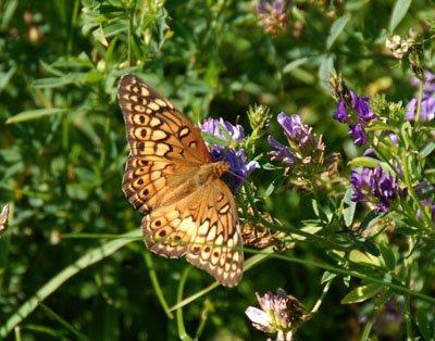 Variegated Fritillary on Alfalfa blossoms