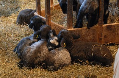 Group nap time for lambs