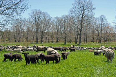 Flock on May 16th pasture