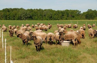 Grazing second crop hay