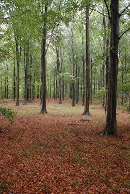 Beech forest near Knuthenlund