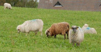 wet sheep near Thorning