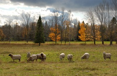 Fall grazing in pasture #2