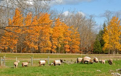Fall grazing in pasture #4