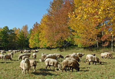 Fall grazing in pasture#3