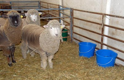 Yearling lambs and their new buckets