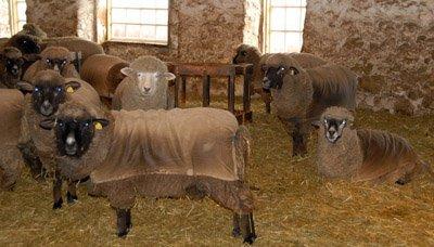 Waiting for shearing