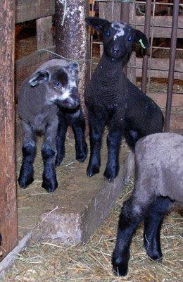 Wendolyn's Bryn keeps a wary eye on the shepherd when he is in the 1st mixing pen