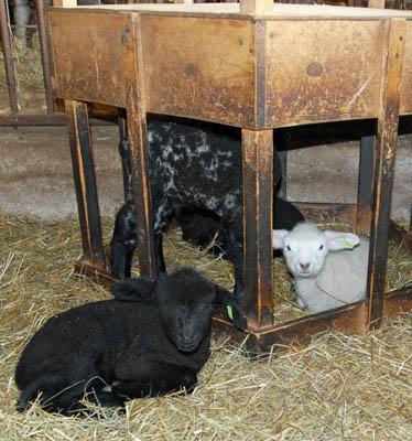 Lamb fort