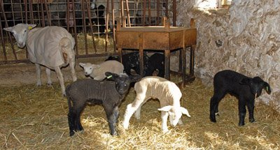 Lambs together for the first time