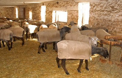 Sheared and in coats