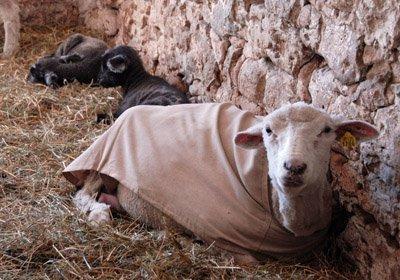 Viva and napping lambs