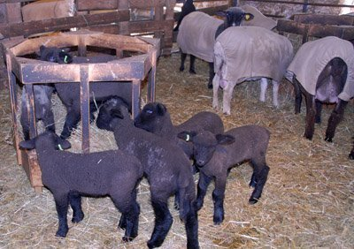 Lambs and Ewes eating separately