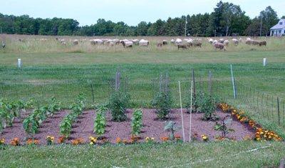 veggies and sheep