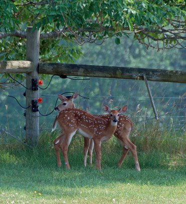 Twin fawns in backyard
