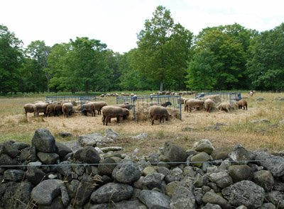 Eating large square bales on what was left of pasture
