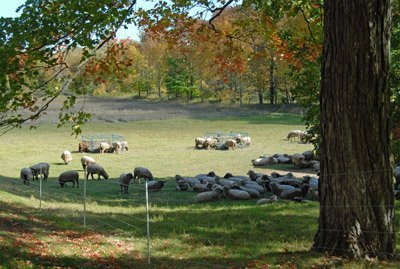 """""""Road Pasture"""" and sheep in fall"""