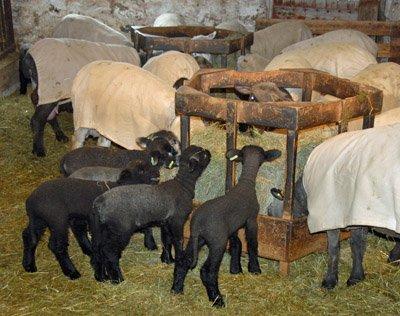 lamb breakfast