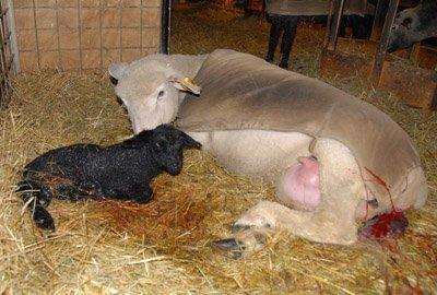 Quazar with lamb