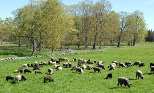 The first day on pasture...just the ewes with lambs