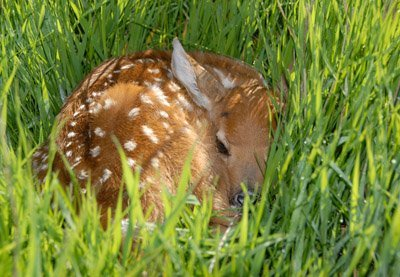 day old White-tailed fawn