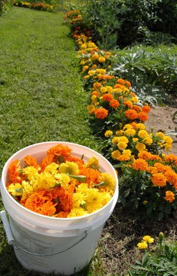 marigolds for dyeing