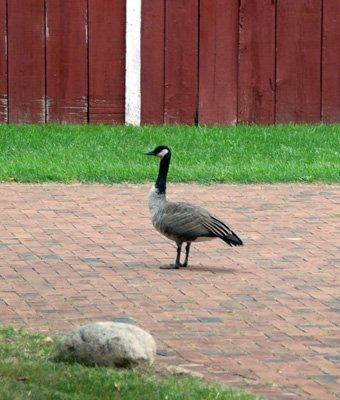 visiting Goose