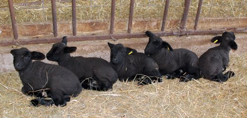 5 black lambs