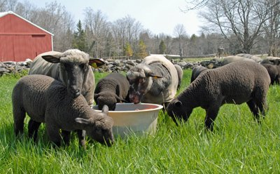 lambs learning how outdoor water tak works