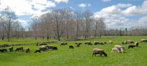 2nd day on pasture for 2014 lambs
