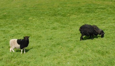 Faroes Sheep