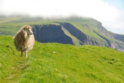 Faroes Sheep on Mykines