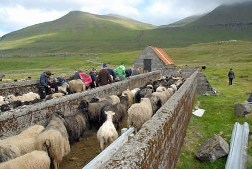 Shearing sheep in northern Eysturoy