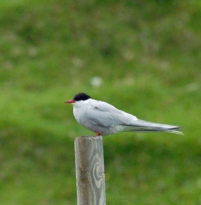 Arctic Tern Kalsoy