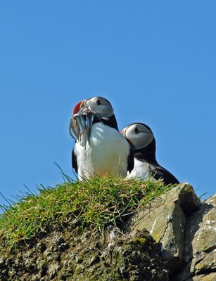 Atlantic Puffin with fish for the young birds