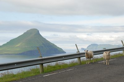 sheep with a view of Koltur